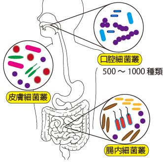 500-700種類の細菌が生息し、歯面、歯周ポケット、唾液、舌表面、頬粘膜などそれぞれの部位に特徴的な細菌集団を形成